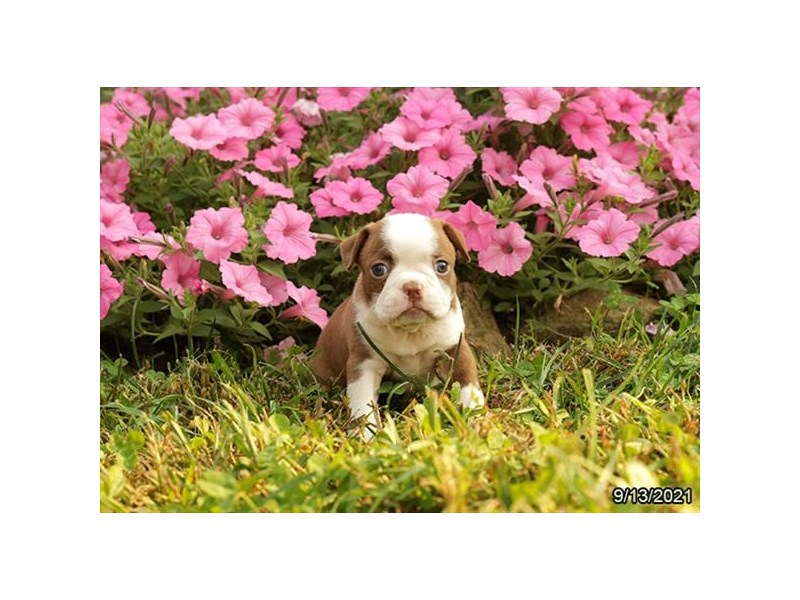 Boston Terrier-Female-Red / White-3339767-Petland Carriage Place