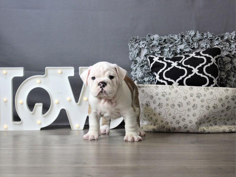 English Bulldog-Female-Red-3339761-Petland Carriage Place