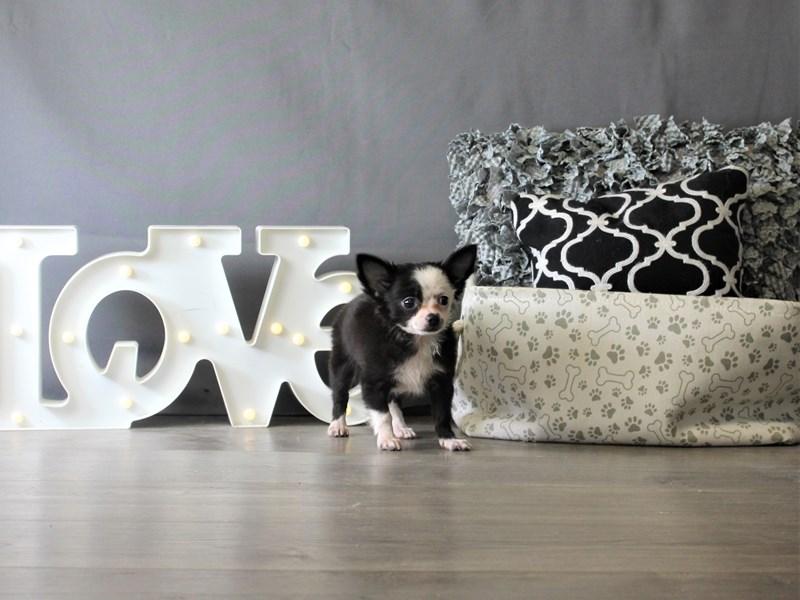 Chihuahua-Male-Black / White-3348732-Petland Carriage Place