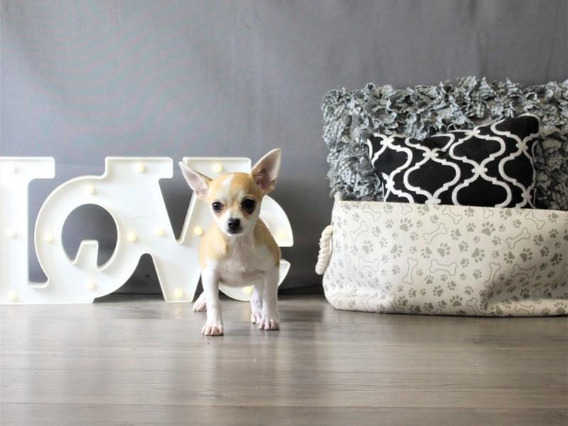 Chihuahua-Female-Fawn-3327363-Petland Carriage Place