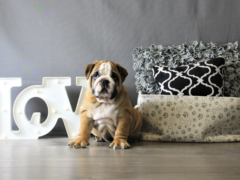 Bulldog-Male-Red / White-3348739-Petland Carriage Place