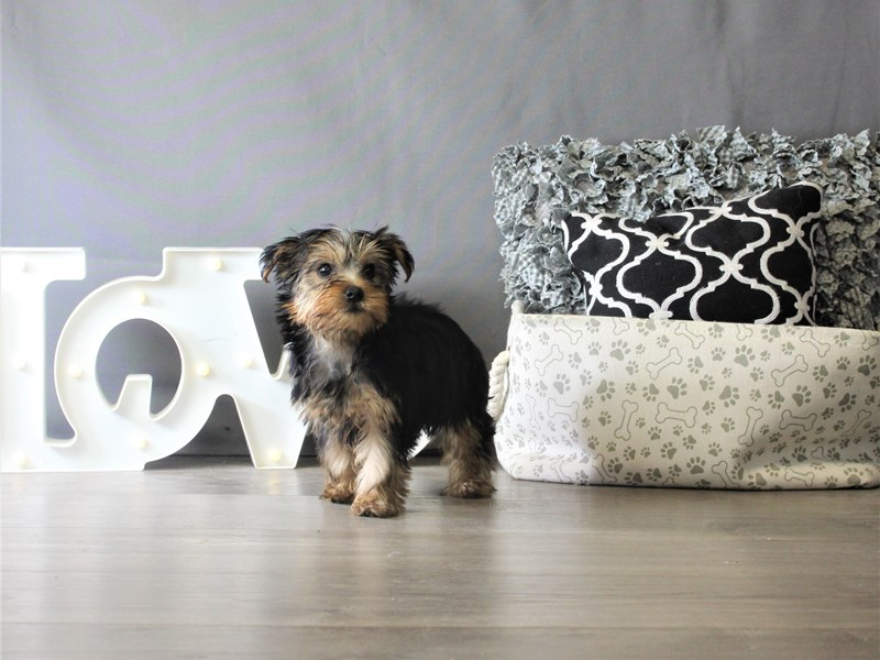 Yorkshire Terrier-Female-Black / Tan-3349010-Petland Carriage Place